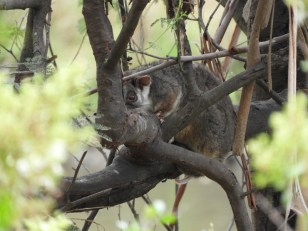 Ring-tailed Possom