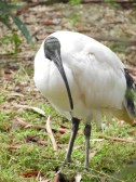 Australian White Ibis roam all over the park