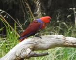 King Parrot (m)