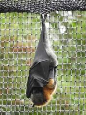 Fruit Bat (aka Flying Fox)
