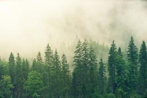 fog in trees