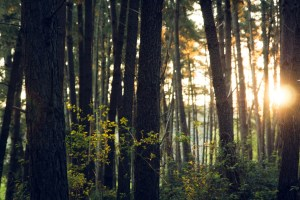forest with sun shining through trees