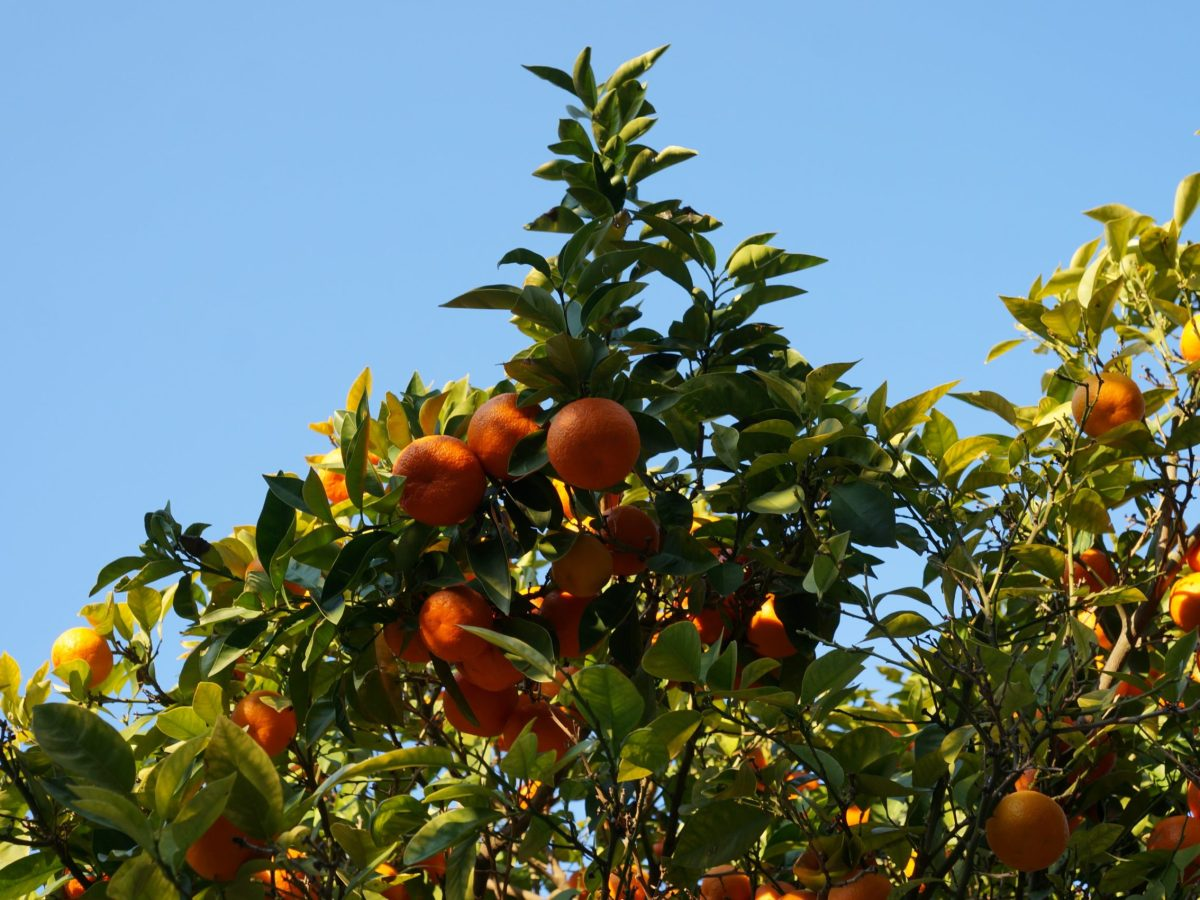 a blue sky behind the top of a lush and green tree bearing orange fruits