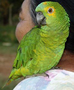 http://en.wikipedia.org/wiki/File:Papagaio_(F%C3%AAmea)_REFON_010907.jpg