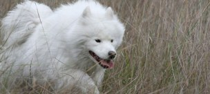 Siberian Samoyed dog. Image- EduardoVela Public domain via Wikimedia Commons