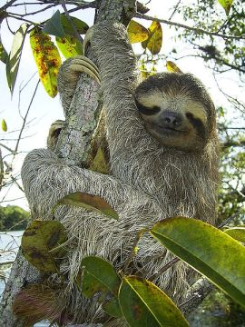 three-toed sloth Bradypus wikipedia public domain