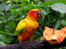 http://commons.wikimedia.org/wiki/File:Aratinga_solstitialis_-Jurong_Bird_Park-8b.jpg