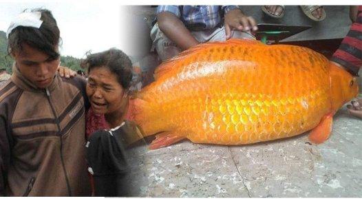 ikan mas besar di danau toba