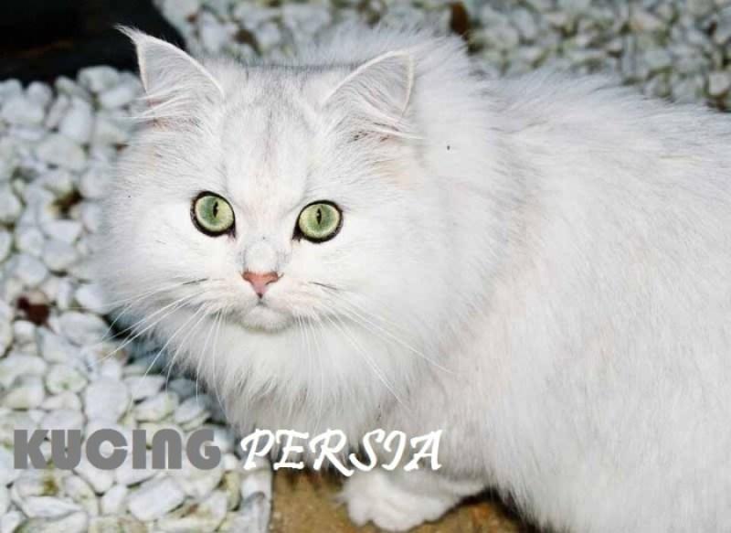 Cara Mudah Memelihara Kucing Persia bagi Pemula