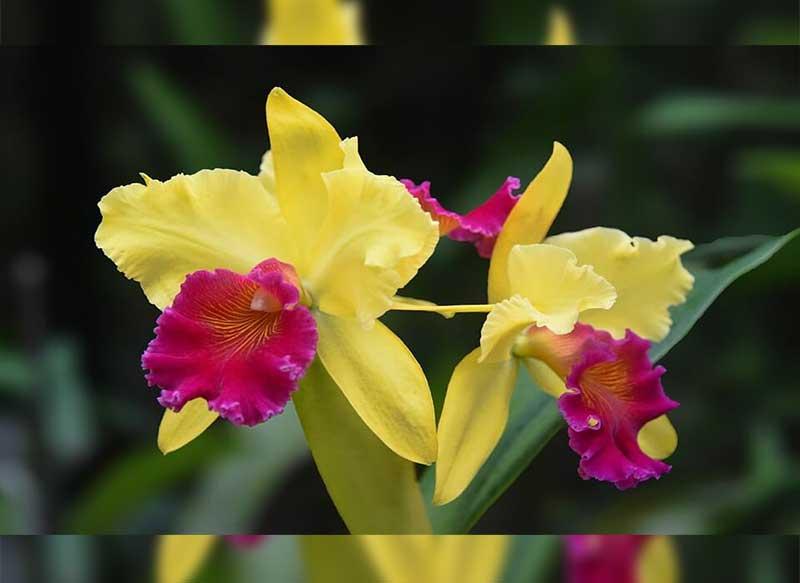 Download 60 Gambar Flora Bunga Anggrek Paling Keren