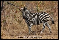 Plains zebra, Babalala