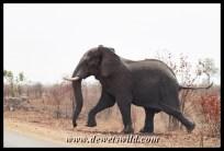 Elephant bull, Babalala