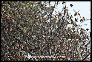 Flock of quelea, Babalala