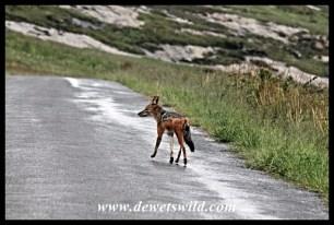 Wet black-backed jackal