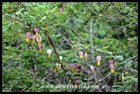 The flowers of the sickle-bush