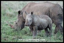White Rhino (10)