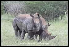 White Rhino (11)