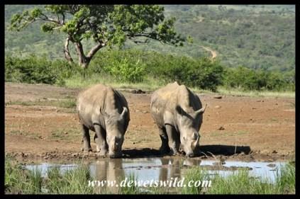 White Rhino (14)