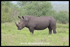 White Rhino (3)