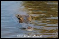 Bold, begging crocodile and terrapins near Olifants