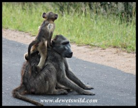 Baboon mothers make excellent vantage points!