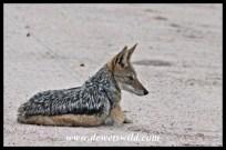 Black-backed jackal at the turnoff to Tamboti