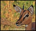 Impala youngster
