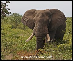 Shingwedzi is elephant country