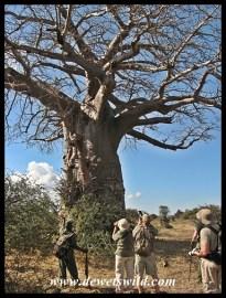 Baobab, Kruger (8)