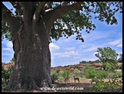 Baobab, Mapungubwe (9)