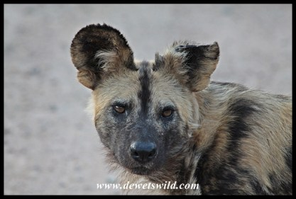 African wild dog are often encountered around Berg-en-Dal