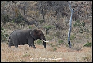 Elephant at the foot of N'wamuriwa Hill
