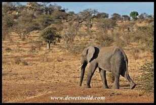 Elephant walking to Girivana waterhole