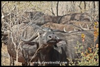 Buffalo herd, near Mantimahle Dam