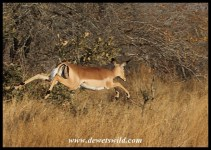 Impala in flight