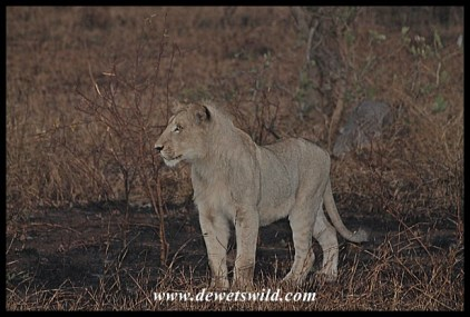 More lions, this time just north of Satara