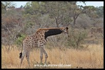 Giraffe with unique markings, close to Tshokwane