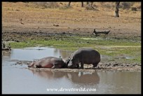 Hippos at Mazithi Dam