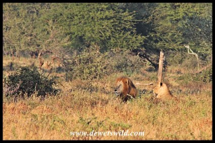 Lions, Nsemani