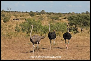 Ostrich, H1-4