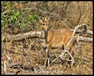 Bushbuck are very common along the Sabie