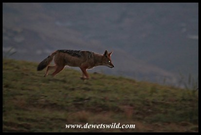 Black-backed jackal setting out to forage at dusk