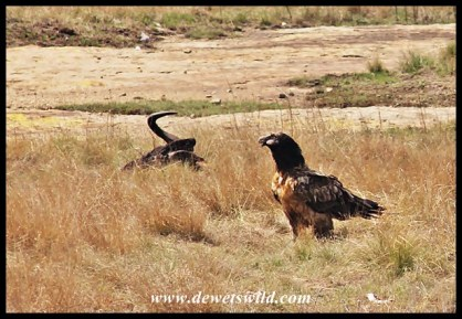Bearded vulture at the feeding station