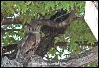 Verreaux's eagle-owl near Shingwedzi