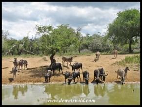 Zebr and wildebeest sharing the waterhole