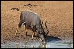 Nyalas are very common patrons at Kumasinga