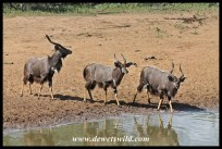 Nyala bulls coming for a drink