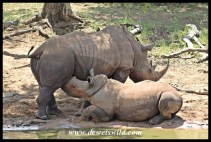 White rhinoceros cow and rather large calf