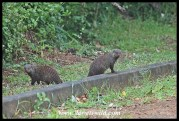 Banded mongooses at the curbside in town