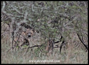 Spot the spotted hyena!